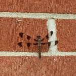 Chapel Hill Dragonfly