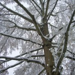 Snowy Tree in Carrboro