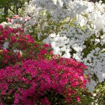 Azaleas I