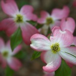 Dogwood I