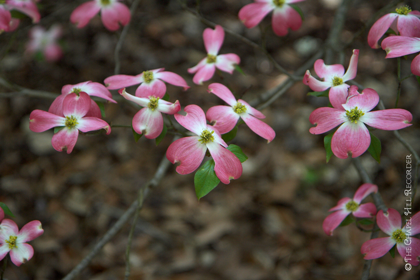 Dogwood II