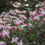 Dogwood IV